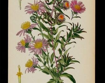 1896 BOTANICAL antique print, flower print chromolithograph of a European Michaelmas Daisy