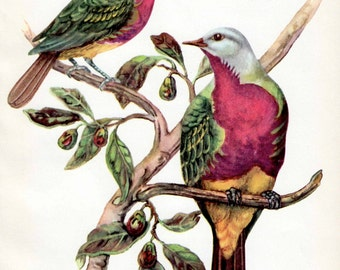 Colorful birds print, Australian birds print, Wompoo Pigeons, bird decor, vintage bird print