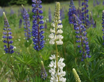 Purple and White Lupine in field Photograph - black frame - white matte