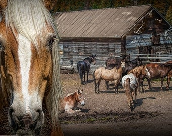 Western Horses in an Outfitters Corral in Montana No.18278 - A Fine Art Domestic Animal Photograph