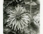 "Vintage Photo ""Spring Guest"" Flower Snapshot Photo Old Antique Photo Black & White Photograph Found Photo Paper Ephemera Vernacular - 197"