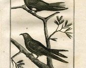1803 Buffon Birds Print White Collared Swift and Blue Swallow Rare Original Antique Engraving Ornithology