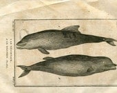 1804 Antique Print of Dolphins, Le Nésarnack, Le Dauphin, Bottle Marine Mammals, Drawing by De Seve, Buffon
