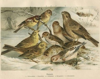 Passerine Birds Vintage Print, German Color Lithograph of Buntings
