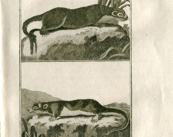 1800s Antique Engraving North American River Otter and Opossum Vintage Print, Buffon