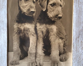 """11"""" by 14"""" Vintage Englis Twin Terrier Photograph"""