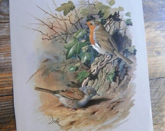 Vintage Bird Book Plate Page of Robin printed 1965 Illustration