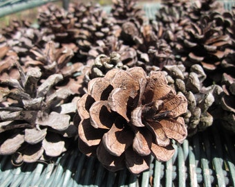 40 Real Pine Cones Handpicked Medium Sized Pine Cones from Upstate New York