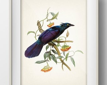Trumpet Manucode No. 2 Bird of Paradise (Manucodia keraudrenii) - BP-52 - Fine art print of a vintage natural history antique illustration