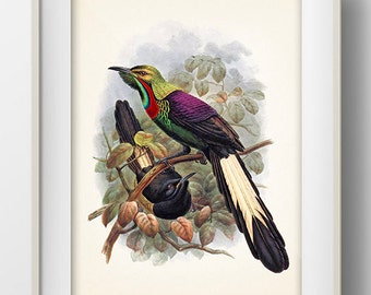 Splendid Astrapia Bird of Paradise (Astrapia splendidissima) - BP-18 - Fine art print of a vintage natural history antique illustration