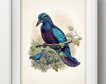 Curl Crested Manucode Bird of Paradise (Manucodia comrii) - BP-05 - Fine art print of a vintage natural history antique illustration