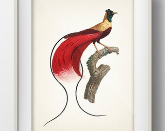 Red Bird of Paradise (Paradisaea rubra) - BP-51 - Fine art print of a vintage natural history antique illustration