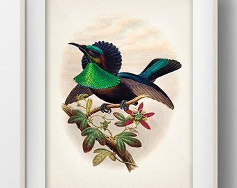 Duivenbode's Bird of Paradise - BP-06 - Fine art print of a vintage natural history antique illustration
