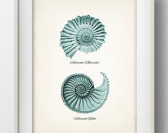Spiral Seashells ( Ammonites )- SH-10 - Fine art print of a vintage natural history antique illustration,