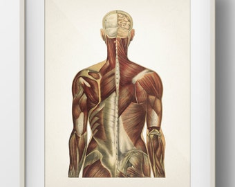 Human Anatomy MUSCLE System Back View - HU-15 - Fine art prints of a vintage medical anatomical illustrations
