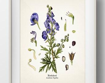 Monkshood or Aconite - Aconitum Napellus - KO-37- Fine art print of a vintage botanical natural history antique illustration