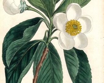 Vintage Botanical Print 1803 Loblolly Bay Gordonia Curtis Vintage Flower Plate 661 Antique Botanical Print