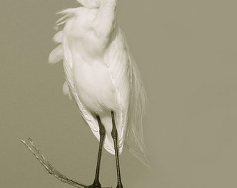 White Egret fine art photography Florida birds Sepia toned Home decor