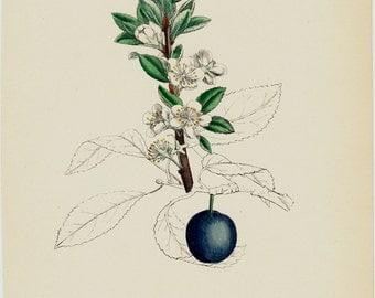 "1873 Botanical antique print, Flower and fruit. Wild plum 9"" x 6"""