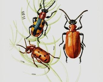 1961 vintage Beetle print, beetles