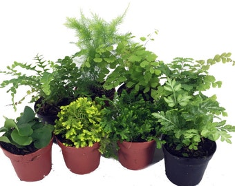 "Mini Ferns for Terrariums/Fairy Garden - 8 Different Plants-2"" Pots"
