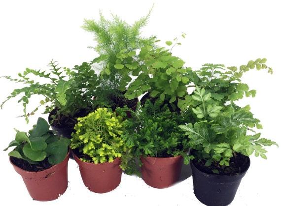 mini ferns for terrariums fairy garden 8 different. Black Bedroom Furniture Sets. Home Design Ideas