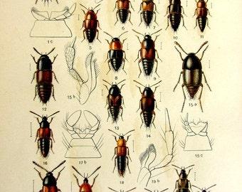 Ancient GERMAN Beetles color lithograph, 1910 Antique original INSECTS  Tachinus subterraneus print, vintage rove beetles scarabs print.