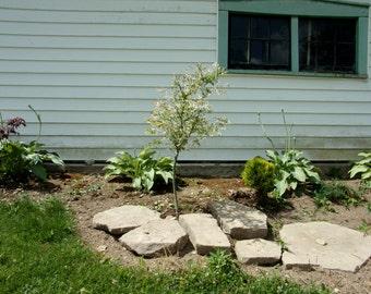 Dappled Willow Salix Integra Hakuro Nishiki 3 Year Shrub