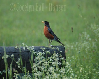 Red Breasted Robin Standing on Wood Railroad Tie, Wild Flowers and Bird in Meadow, Archival Fine Art Photograph, Bird Print Wall Art,
