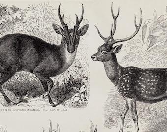 1889 Deer Antique print. Deer breeds, deer, reindeer, elk, stag, hart