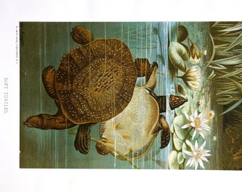 Soft TURTLES - WATER LILY Waterlilies - 1885 - Louis Prang Antique Chromolithograph ~ Professionally Matted 11 x 14 Print Ready to Frame