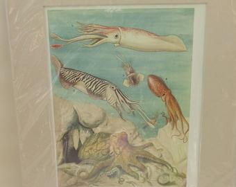 Vintage Mounted Sea Life/Marine Print - Octopus