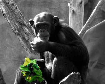 chimpanzee in black and white
