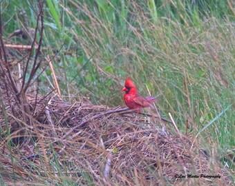 A Perky Cardinal