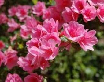 Pink Royal Azalea Seeds, Rhododendron Schlippenbachii, Shrub, Flowering Bush, Perennial Plant, Bonsai Specimen