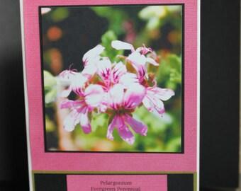 Pelargonium flower
