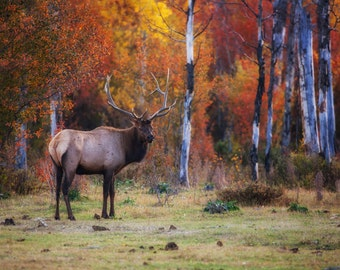 Bull Elk in the Autumn Leaves