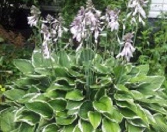 Buy 2 Get 1 Free Limited Time Offer! Perennial Hosta seed-Green Gold  can be used for edging, ground covers or for plants in a shady garden
