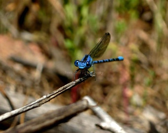 Blue Dragonfly/Macro Photography/Fine Art Photography/Insect Photography/Nature Photography/DIY Photo Greeting Cards/Photography Download