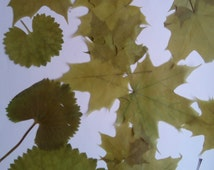 Pressed leaves, 12 pieces set, green shades natural botanical supplies, tiny maple leaves