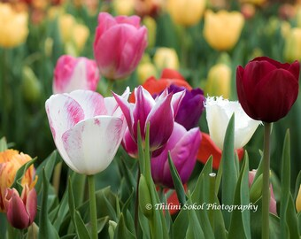 Tulip Flowers Download Digital Photograph Nature Floral Pink Purple Yellow Macro Fine Art Digital Instant Download Wall Home Decor