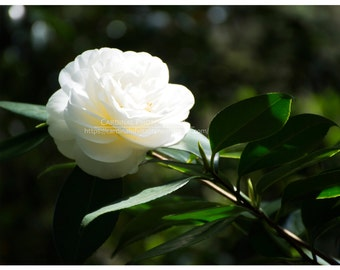 White Magnolia, Fine Art Photography Print, 8x10, Nature Photography