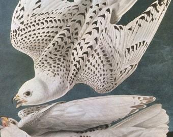 ICELAND FALCON Large Original Vintage 1964  Audubon Print, 14 x 17 inches, Bird Decor, Vintage Decor, Ornithology