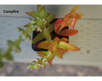 Crassula Succulent Plant