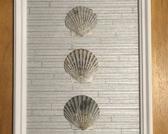 Scallop Shell Display