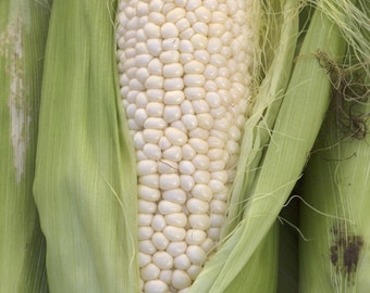 Country Gentleman corn (125 thru 2 LB seeds ) Superior Heirloom Zea Mays!  M2