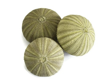 Green Sea Urchin Shells, beach decor, craft shells, bulk shells, air plant holder, air plant shell, sea urchin decor, urchin planter