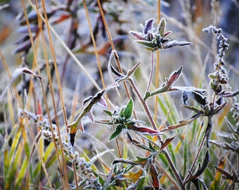 First Frost, Colorful Art, Frost, Frosted Plant, Hiking, Fine Art Photography, Nature Photography