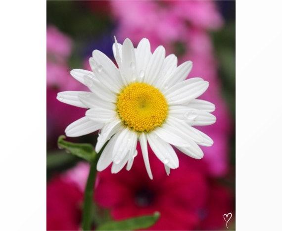 Flower Wall Art | Are My Petals Showing? Daisy Flower Art Print