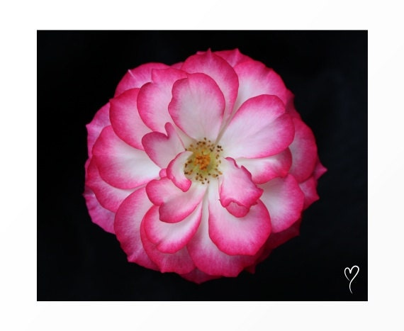 "Rose Print, Signed Original Fine Art Print, Home Decor, Rose Art, Flower Print, Gift, Wall Decor ""Almost Perfect"""